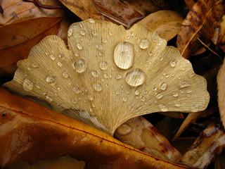 Fallen Ginko Leaf with rain droplets