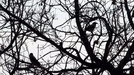 corvi su albero spoglio