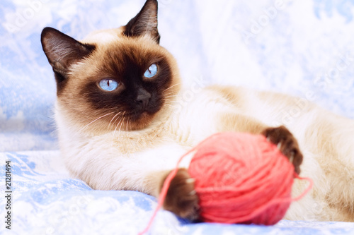 Siamese cat playing on the blue fabric