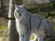 Lynx de Sibérie (lynx lynx wrangeli)