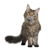 Front view of Maine coon, standing in front of white background poster