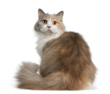 Rear view of British longhair cat, sitting and looking back poster