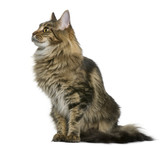 Side view of Maine coon, sitting in front of white background poster