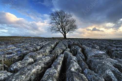 lone tree on limestone pavement