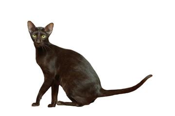 chat oriental noir dans une pose élégante et gracieuse