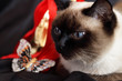 Siamese cat and a gift set