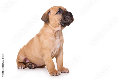 dogo canario puppy on white backround von dixi. Black Bedroom Furniture Sets. Home Design Ideas