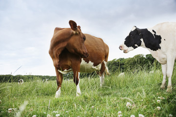 Cows standing face to face in meadow