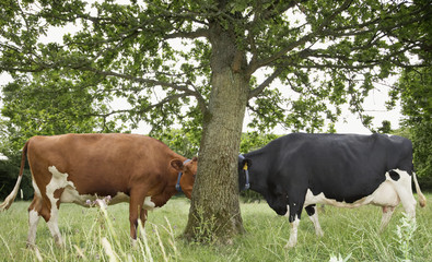 Cows standing face to face behind tree