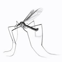 Close up of black and white crane fly