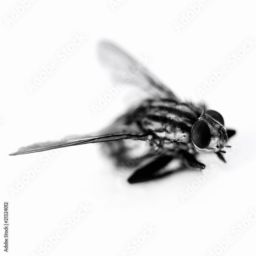 Close up of black and white housefly