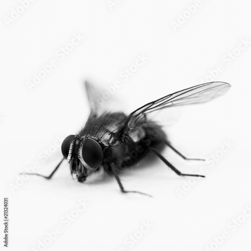 Close up of black and white blue bottle fly
