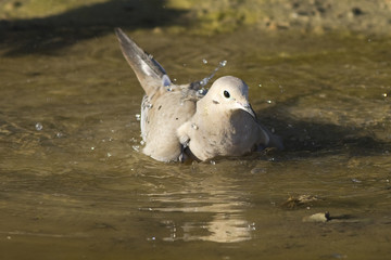 Bathing Dove
