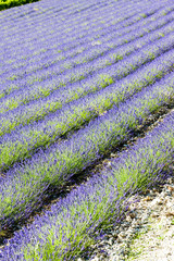 lavender field, Drome Department, Rhone-Alpes, France