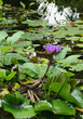 water lilly in garden pond