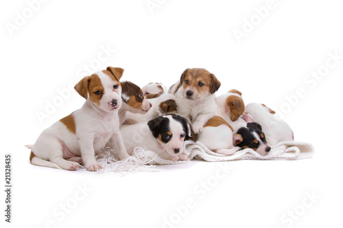 group of cute jack russel terrier on a white blanket