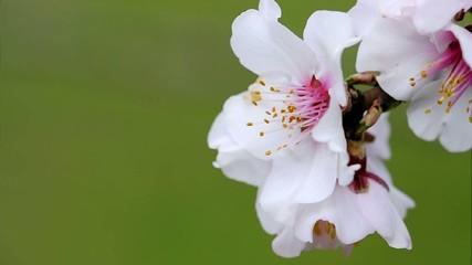 Ape al fiore