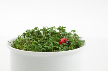 Gartenkresse mit Marienkäfer