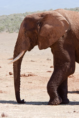Bull elephant in Addo National Park, south Africa