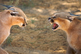 Caracals fighting in Harnas Foundation in Namibia poster
