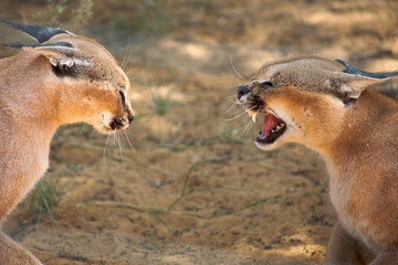 Caracals fighting in Harnas Foundation in Namibia
