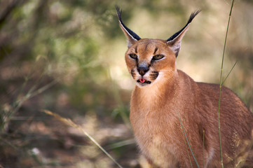 Caracal in Harnas Foundation in Namibia