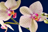 branch of orchid flower (phalaenopsis) on blue background