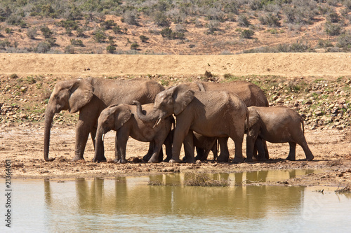 A herd of African elephants rests at a waterhole in Addo Park