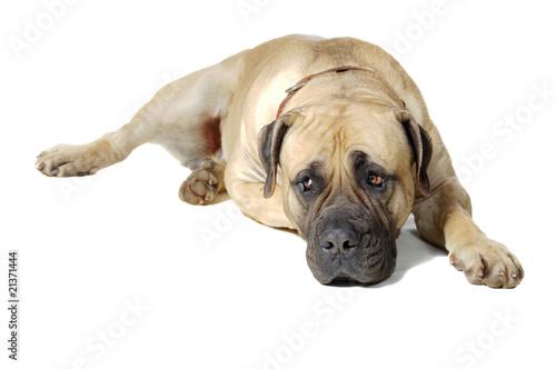Dog of large breed