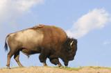 Iconic American Buffalo poster