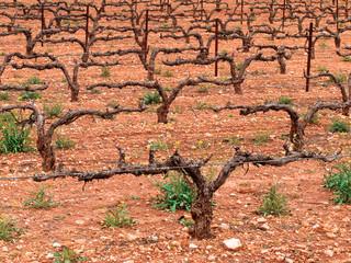 Trunks of vines in fields