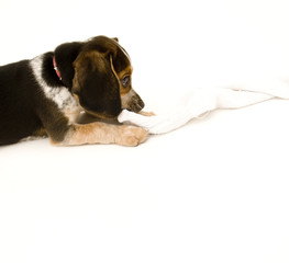 Beagle Chewing on Sock