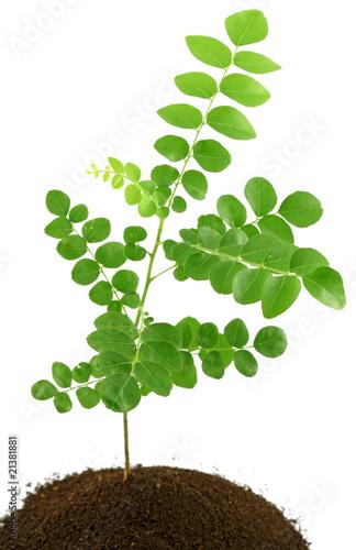 Fotobehang Bonsai jeune plant caloupilé, fond blanc