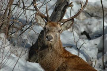 Cervo d'inverno