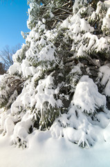 Snow covered Pine tree after major snowstorm
