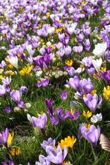 spring crocus flowers