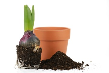 Cultivating young hyacinth