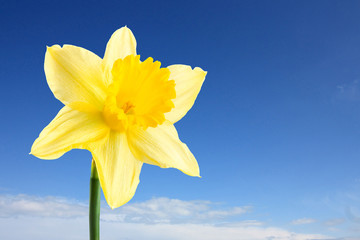 single daffodil and sky