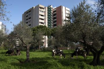 mucche in mezzo ai palazzi cittadini
