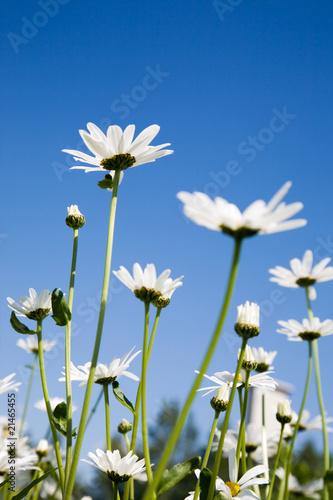 Leinwanddruck Bild Daisies