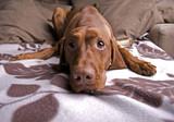 Cute Hungarian Vizsla dog looking tired lying on sofa. poster