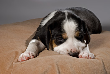Tired puppy lying on pillow.