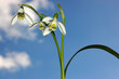 Постер, плакат: Three snowdrops with the sky