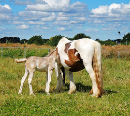 Brown and white horse with Foal