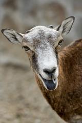 Wild sheep - mouflon