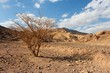Desert landscape with dry acacia tree