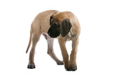 great dane puppy dog looking one side poster