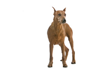 old brown doberman