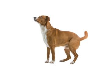austrian short haired pinscher dog