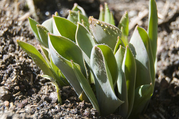 spring tulips buds coming up